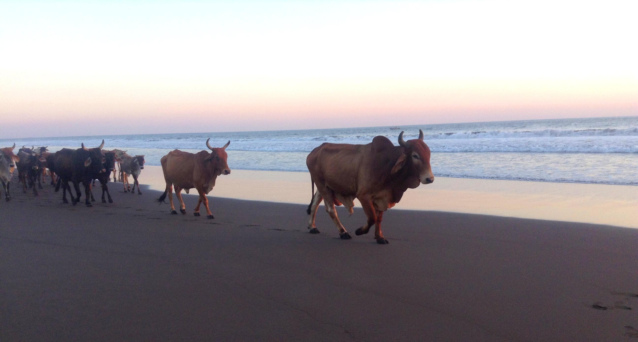 Kühe an der Costa del Sol