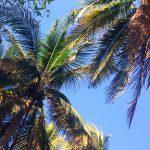El Salvador Palmen