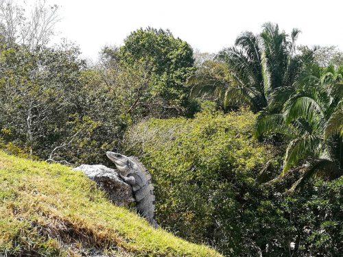 Belize Leguan