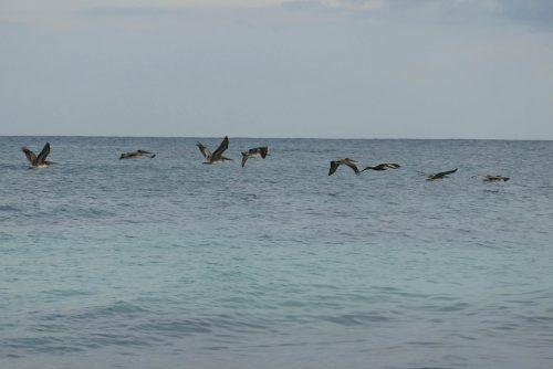 Tulum Pelikane