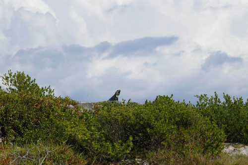 Leguan Tulum