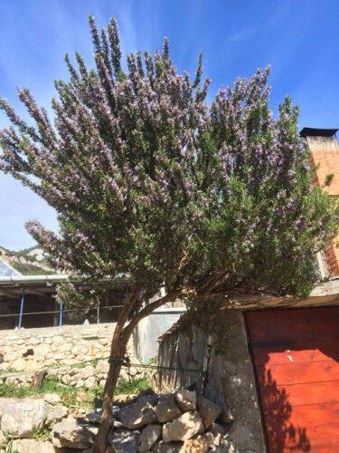Kroatien Rosmarin Baum