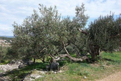 Oliven Wandern Hvar
